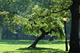 1000 White Mulberry Tree Seeds, Morus Alba