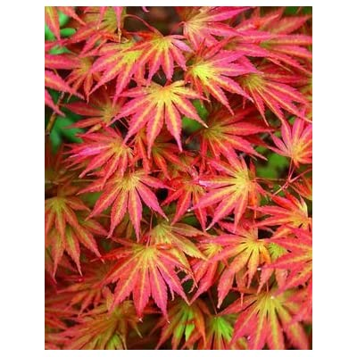 Sensu Fullmoon Japanese Maple 2 - Year Live Plant : Maple Trees : Garden & Outdoor