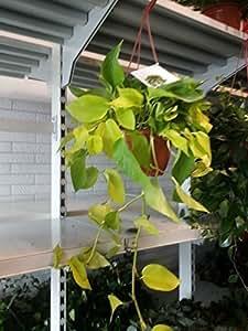 """Planta verde colgantes Mico de noche Aurea """"calidad superior"""" (Efeutute) dew Italia"""