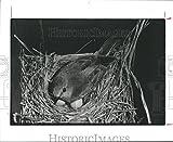 1987 Press Photo Eastern Female Bluebird incubate Her Eggs In Houston Birdhouse