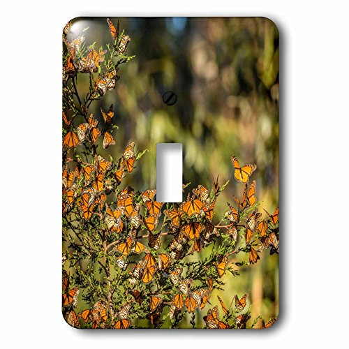3dRose Danita Delimont - Butterflies - California, Pismo Beach. Monarch butterflies clustering in winter sun. - Light Switch Covers - single toggle switch - Pismo Outlet