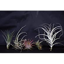 9GreenBox - Live Air Plant 5 Set - 5 x Bromeliad Tillandsia Air Plants - Easy to Care - Indoor