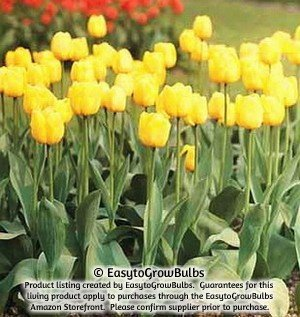 SILKSART Yellow Tulip Bulbs early bloom Perennial Bulbs for Garden Planting Beautiful Flower--SHIPPING NOW!!! - 10 large bulbs - 12+ cm