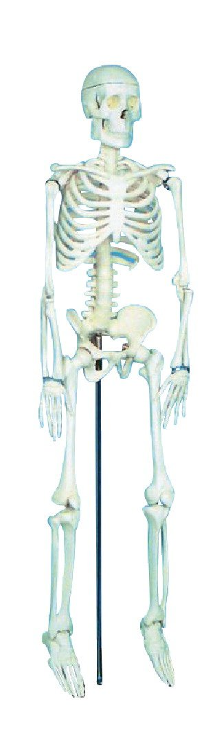 School Specialty Demonstration Skeleton Model with Metal Stand, 33'' Height