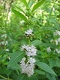 Wild Mint Seeds (MENTHA ARVENSIS) a.K.a FIELD MINT, WILD MINT, CORN MINT(500 Seeds)