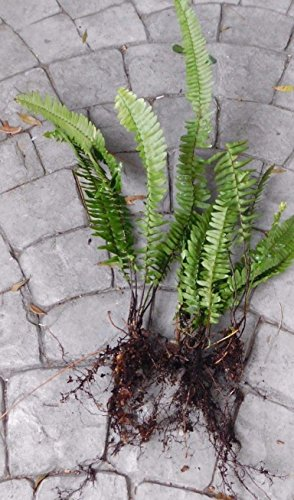 12 Live Boston Fern Plants Roots Florida HOUSEPLANT AIR Purifier
