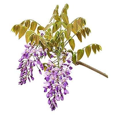 Amethyst Falls Wisteria Vine -Wisteria Flower Wisteria Tree Seeds Multifunctional Adorable Flower Fragrant Blooms Seeds Flowers 10PCS : Garden & Outdoor