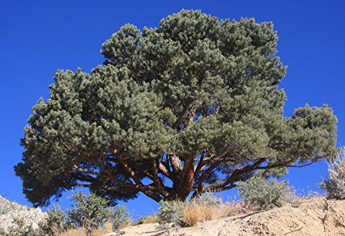 12 Seeds of Pine Pinyon/Pinus Pinea Monophylla