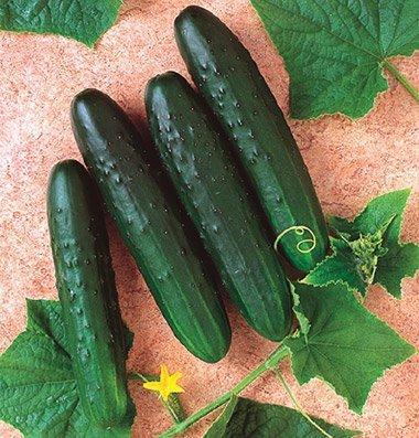 David's Garden Seeds Cucumber Slicing General Lee (Green) 50 Hybrid Seeds