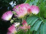 2 Silk Mimosa Tree Fragrant Pink Flowers Albizia Sapling Starter Live Plant NLE14