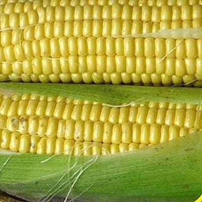 Everwilde Farms - Kandy Korn Hybrid Sweet Corn Seeds - Gold Vault