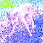 Coyote (Instrumentals)
