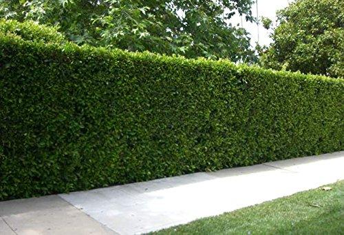Ligustrum Japonicum 'Recurvifolium' - Curled Leaf Privet - Qty 40 Live Plants - Evergreen Privacy Hedge by Florida Foliage (Image #2)