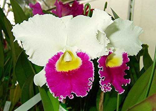 2-Plants-Lc. Hallo Wedding 'Carmen' Fragrant! Very Attractive! Nice! Orchid Plant