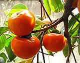 Jiro FUYU Japanese Persimmon Fruit Tree