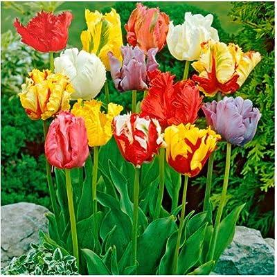 Humany flowerseeds- 100pcs Tulip Seeds, Rarity Garden Bulb Flower Seeds Colorful Flower Seeds Tulips Garden Ornamental Flower : Garden & Outdoor