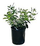 PlantVine Aloysia virgata, Sweet Almond Verbena, Incense Bush, Sweet Almond Bush - 10 Inch Pot (3 Gallon), Live Plant