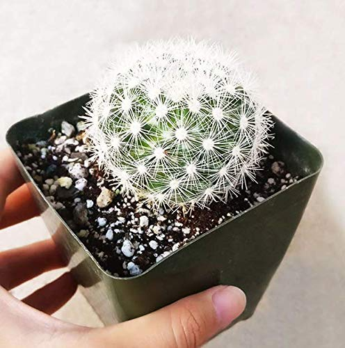 Cactus Mammillaria Carmenae Albiflora Isla Carmen Pincushion Cactus Get 1 Plant #SB01YN (3.5 Inch)