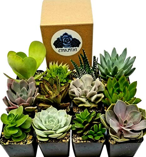 - Kaputar Succulent Plants in Planters with Soil - Living Succulents in 2 Inch Plastic Pots Variety Packages | Model WDDNG -912 | 2 Inch