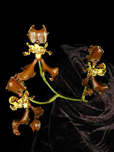 Cyrtochilum (Oncidium) falcipetalum - Orchid Plant - indigenous to - Care Oncidium Orchid