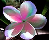 """PINK RAINBOW "" FRAGRANT PLUMERIA'S CUTTING WITH ROOTED 7-12 INCHES REGISTERED TRACK ONLINE 100%GUARANTEE SATISFICATION AND ..."