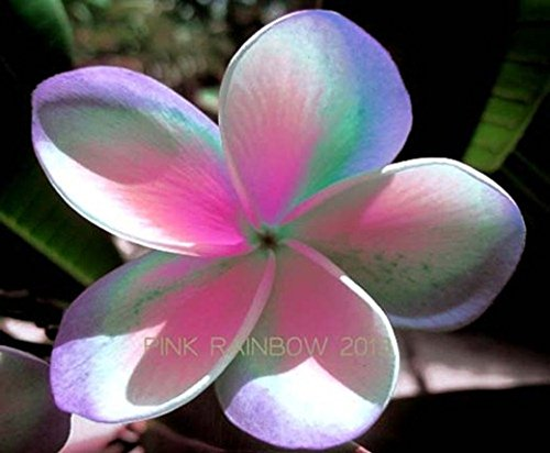 ''PINK RAINBOW '' FRAGRANT PLUMERIA'S CUTTING WITH ROOTED 7-12 INCHES REGISTERED TRACK ONLINE 100%GUARANTEE SATISFICATION AND ...