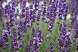 Munstead Lavender Lavandula angustifolia Established Roots 1 Plant in 1 Gallon