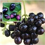 Syzygium cumini Seeds, Java plum, Malabar plum, Portuguese plum, Fruit Seeds