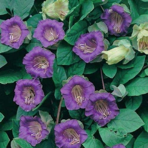 Purple Cup and Saucer Vine - Cobaea scandens (5 Seeds) Climber Flower
