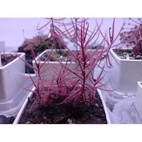 Cheap Drosera Hartmeyerorum ~ Very Rare Carnivorous Sundew Plant ~ 5 seeds ~ Limited supplier