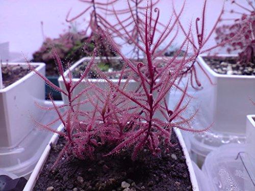 Drosera Hartmeyerorum ~ Very Rare ~ Carnivorous Sundew Plant ~ 5 Seeds ~ Limited ~