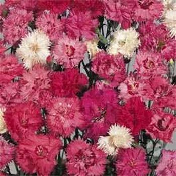 Dianthus Spring Beauty Seeds