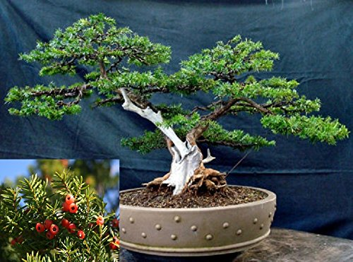 Yew Bonsai (Taxus Cuspidata * Japanese Yew * Japones Tejo *Evergreen Bonsai Tree Fresh Seeds)