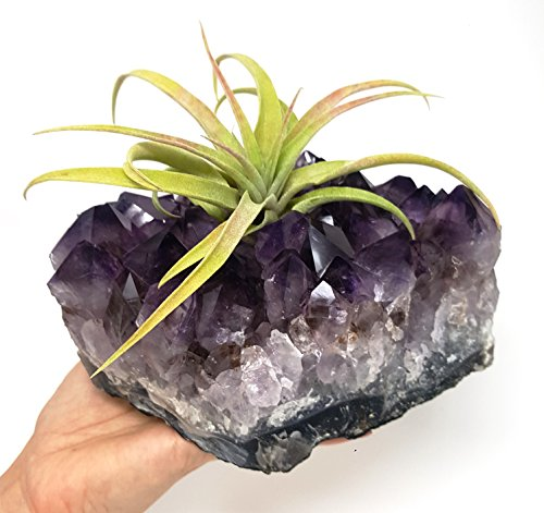 Amethyst Cluster Air Plant Holder/Relaxation Home Decor Healing Crystal + Includes Large Tillandsia Plant