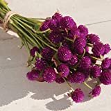 David's Garden Seeds Flower Gomphrena Purple SL4398 (Purple) 50 Non-GMO, Open Pollinated Seeds