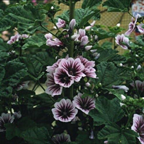 French ZEBRINA Winter Hardy Perennial Heirloom 50 Seeds Hollyhock Seeds