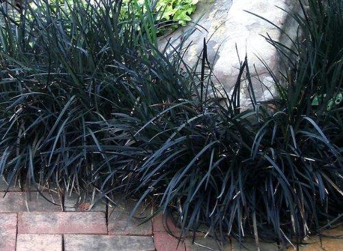 Black Mondo Grass Ophiopogon p. 'Nigrescens' - Set of 3 Potted Plants