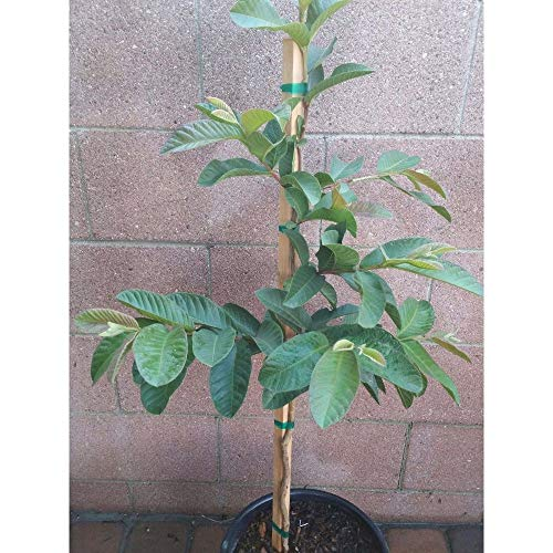 Pink Guavas Tropical Fruit Trees 3-4 Feet Height in 3 Gallon Pot #BS1 by iniloplant (Image #1)