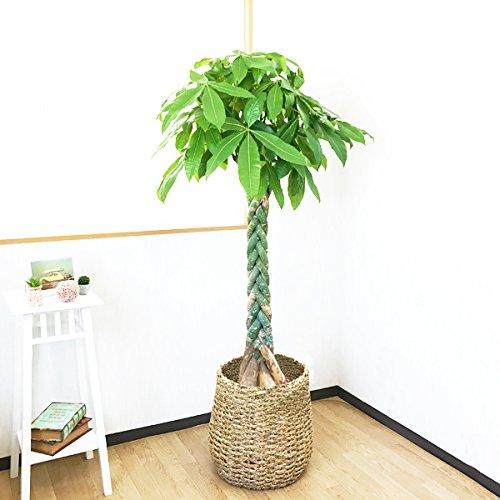 パキラ 10号 手編みバスケット付き 大鉢 観葉植物 大型 インテリア 10号鉢 尺鉢 大サイズ 本物 10号 鉢カバー付き B01DELXKQC