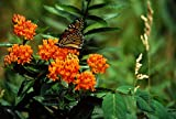 Best Flowers - Perennial: BUTTERFLY WEED, 20 Seeds - Attracts Butterflies Review