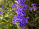 1 Plant Sapphire Showers Purple Duranta Live Semi Tropical Shrub Plant Sky Flower Pigeon Golden Dew Drop Starter Size 4 Inch Pot.