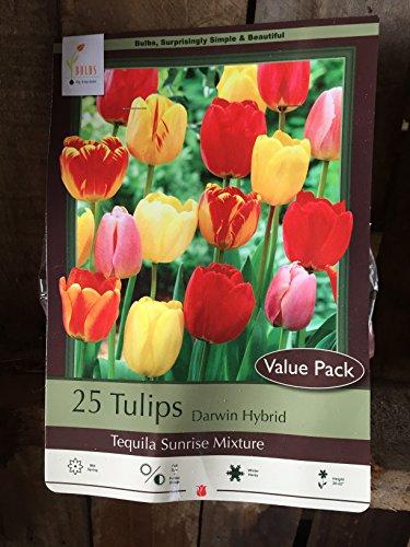 Easter Lily Grow (25 Tequila Sunrise Tulip Bulbs - Tulipa Single Early)