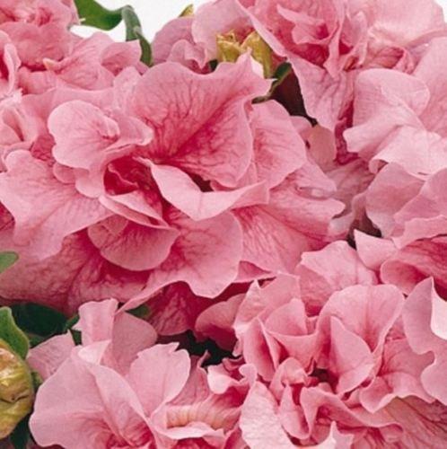 (20 Seeds Petunia Double Cascade Pink Flower Seeds (Petunia x hybrida))