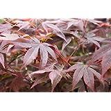 Acer Palmatum Atropurpereum - Érable du Japon - Hauteur 75cm