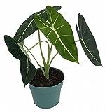 Green Velvet African Mask Plant - Alocasia Frydek - Houseplant - 6'' Pot