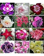 10 Sementes de Rosas do Deserto triplas, duplas e simples (Adenium obesum) Sortidas Kit nº 3