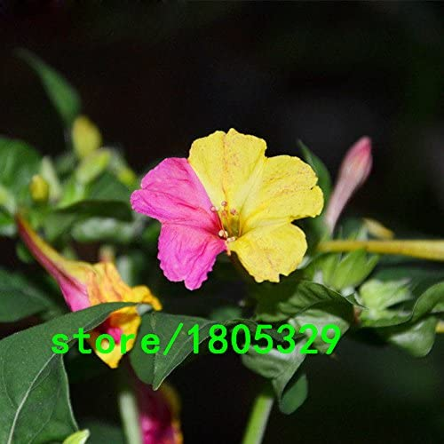 Fiori Gialli Rari.Semi Di Vendita Calda Rari Giallo E Rosa Caldo Petali Di Gelsomino