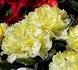 Lemon Dream Rhododendron - Live Plant - Quart Pot