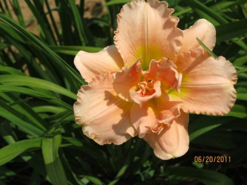(5 bareroot Siloam Double Classic Daylilies Tennessee Grown)