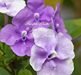 5pcs Brunfelsia pauciflora Floribunda Yesterday Today Tomorrow Seeds Dwarf Plant